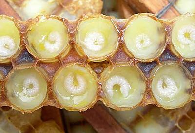 لارو و ملکه زنبور عسل از رویال ژلی تغذیه می کند .