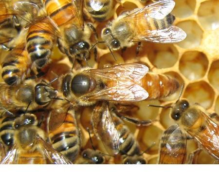 ژل رویال ماده اعجاب انگیز طبیعت , راز بقای ملکه زنبور عسل
