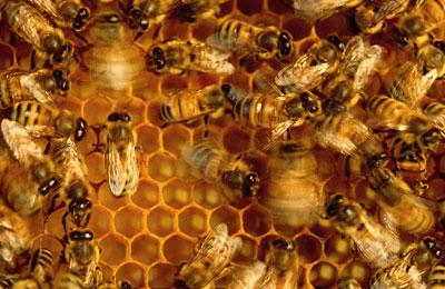 ملکه زنبور عسل 40 برابر بیشتر از زنبوران کارگر عمر میکنند.