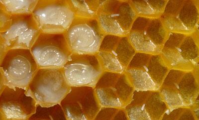 رویال ژلی و عسل با هم فرق دارند !